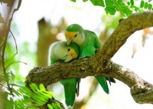 PROTS LOVEBIRDS COME CLOSE TOGETHER